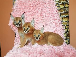 Caracal and caracat kittens