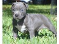 pitbull-terrier-for-sale-small-0