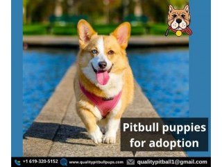 Pitbull puppies for adoption