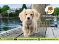 akc-dachshund-puppies-small-0