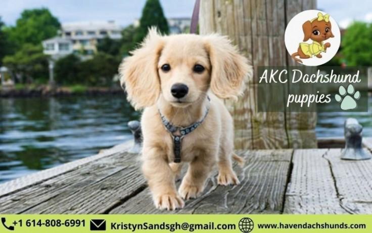 akc-dachshund-puppies-big-0