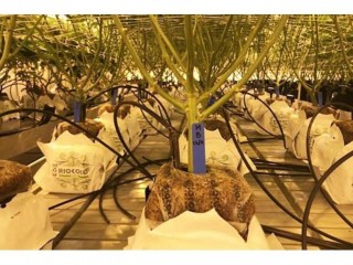 Get Bigger, Faster & Stronger Healthy Roots Use Coco Peat and Coir Substrate